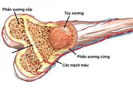Các giai đoạn phát triển của xương