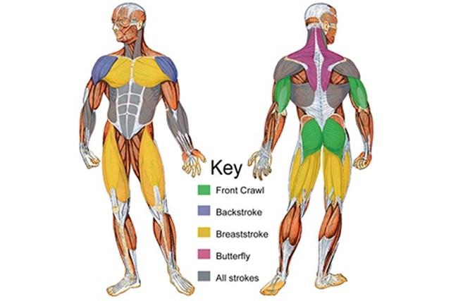 Tóm tắt sự tác động của 4 kiểu bơi lên vùng các vùng cơ trên cơ thể