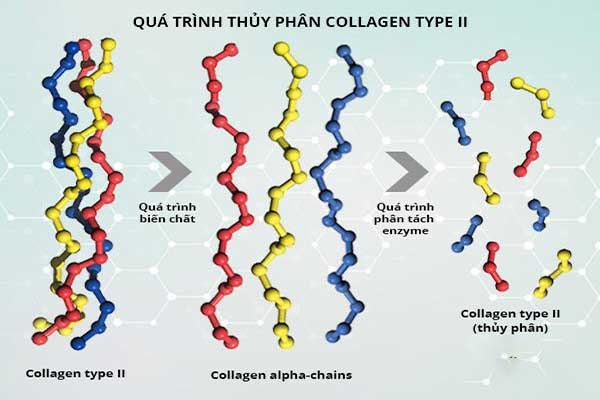 Collagen type 2 thủy phân